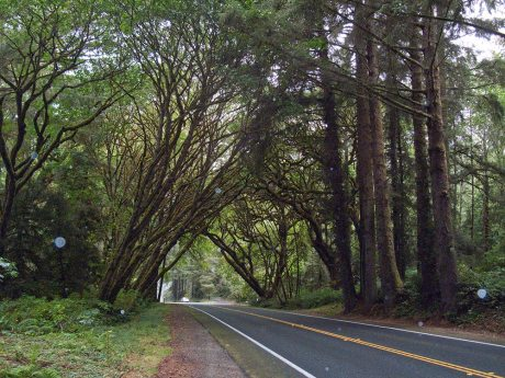 In the Redwood forests, a tunnel through the trees